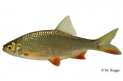 Weissfische